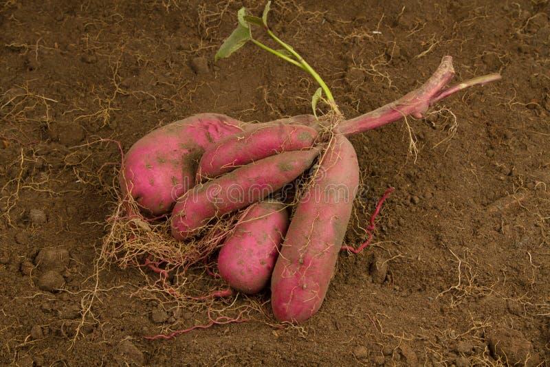 Cosecha fresca de la patata dulce en la granja orgánica fotografía de archivo