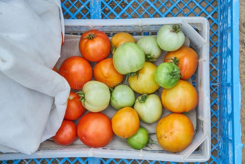 Cosecha fresca de tomates orgánicos en una caja Nueva cosecha de las verduras sabrosas apenas escogidas en un envase de plástico fotos de archivo libres de regalías