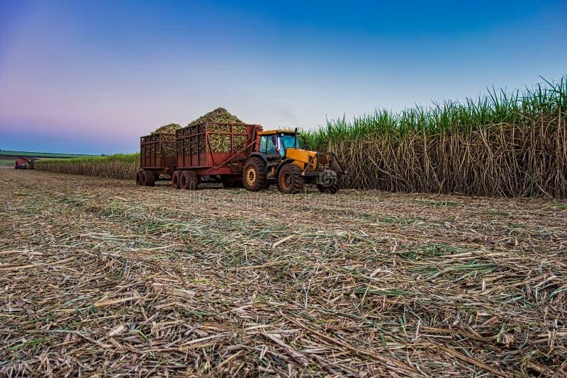 cosecha mecánica del campo de la caña de azúcar con una cosecha que lleva del tractor foto de archivo
