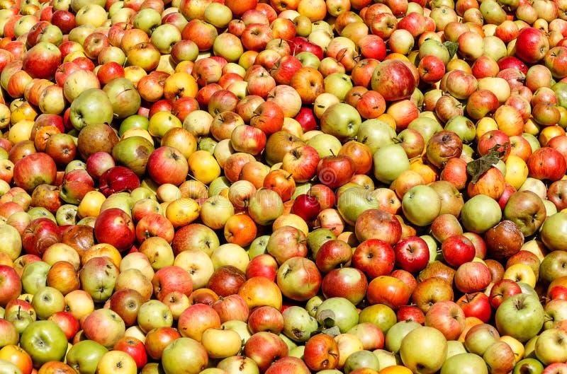 Cosecha rica de la manzana - fondo de las manzanas foto de archivo