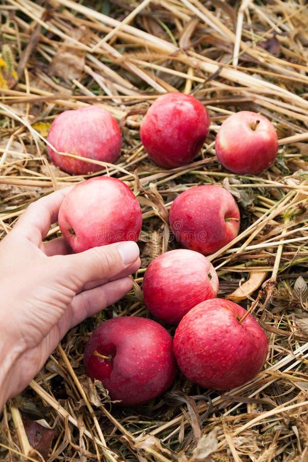 Cosecha roja fresca de la manzana del oto?o, huerta deliciosa de la ecolog?a fotografía de archivo libre de regalías