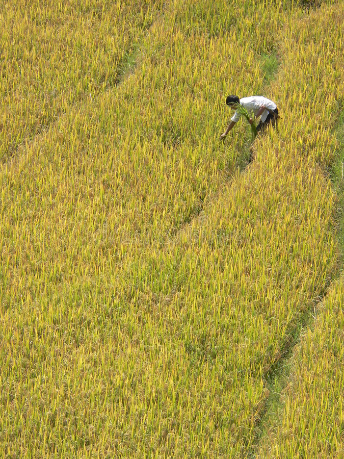 Cosecha sola del arroz fotos de archivo libres de regalías