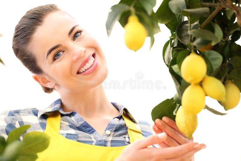 Cosecha sonriente hermosa de la mujer un limón del árbol foto de archivo