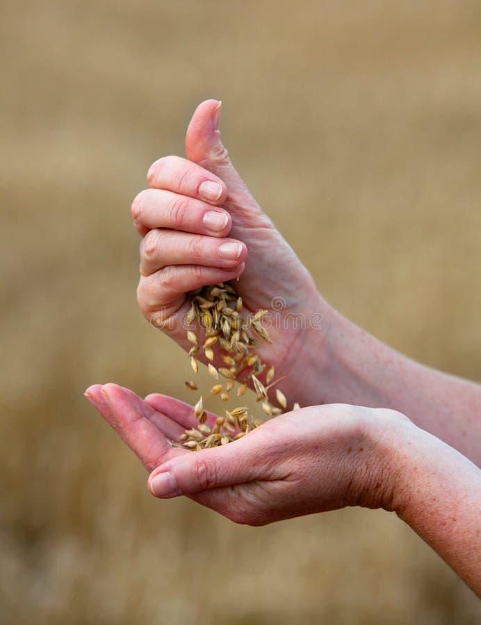 Cosechas de la cebada en las manos fotografía de archivo