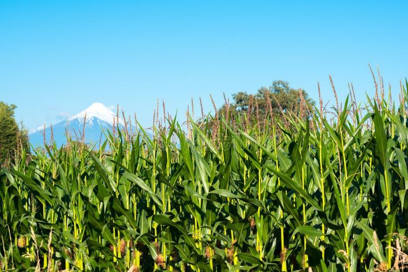 Cosechas del maíz en las orillas del lago LLanquihue, Chile foto de archivo