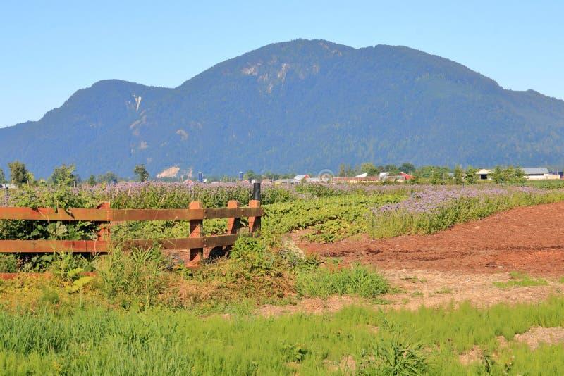 Cosechas en Fraser Valley, Columbia Británica del verano imagen de archivo libre de regalías