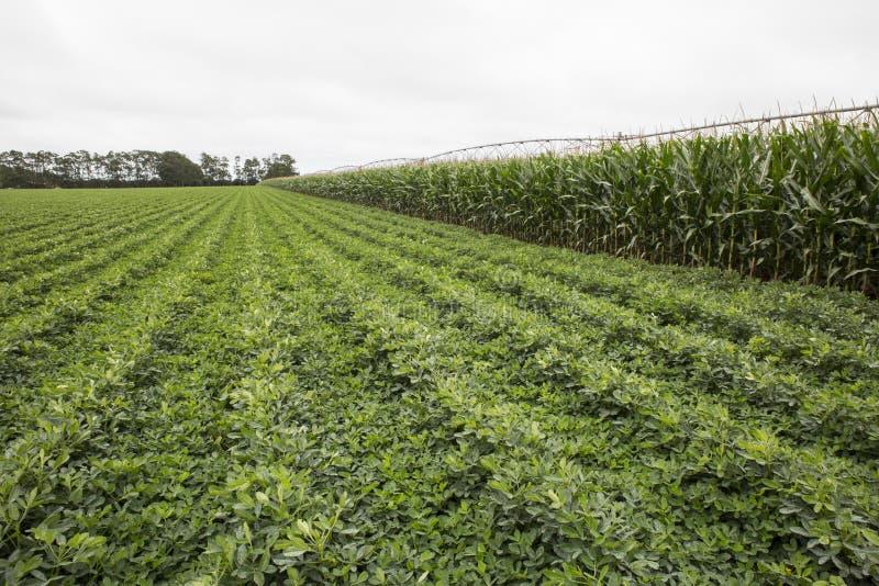 Cosechas irrigadas del maíz y de legumbre fotos de archivo