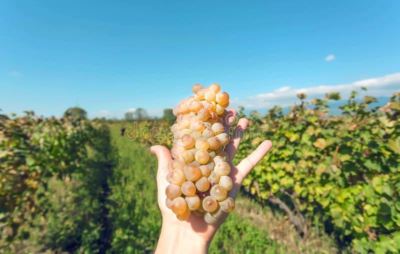 Coseche en la granja local, manojo de uvas fresco en mano humana Uvas jugosas maduras en un fondo del viñedo imágenes de archivo libres de regalías