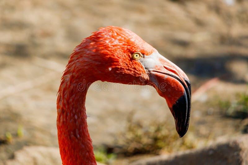 Coseup cor-de-rosa da cabeça do flamingo no jardim zoológico Roseus de Phoenicopterus imagens de stock