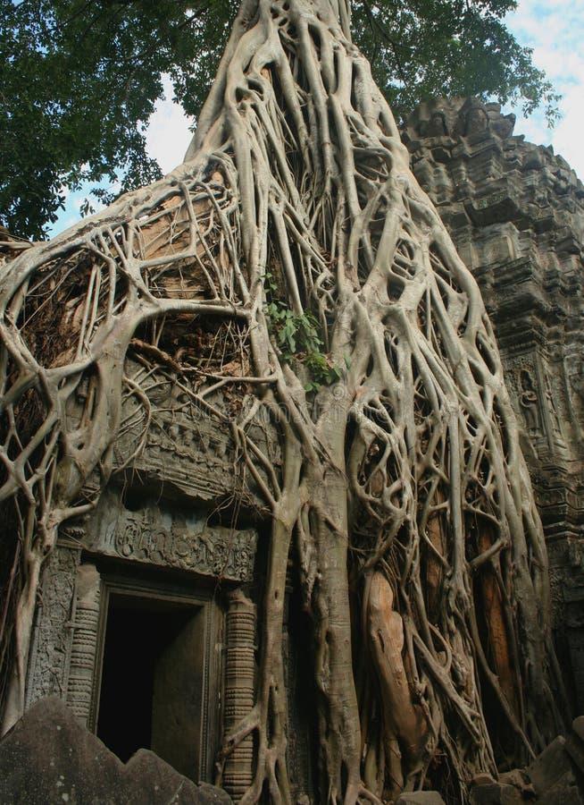 Cosiddetto portone di Tomb Raider al tempio nell'area di Angkor, Cambogia di Prohm di tum fotografia stock