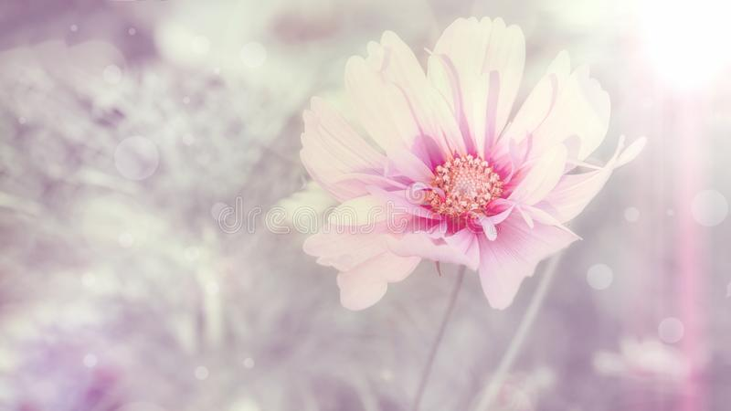 Чувствительный розовый цветок маргаритки cosme на красивой предпосылке r стоковое фото