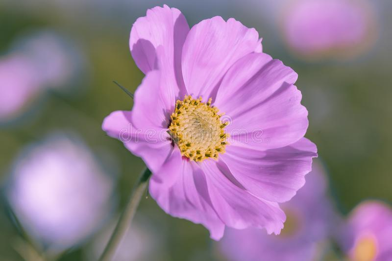 Чувствительный розовый цветок маргаритки cosme на красивой предпосылке r стоковая фотография rf