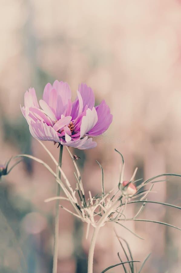 Чувствительный розовый цветок маргаритки cosme на красивой предпосылке r стоковое изображение rf
