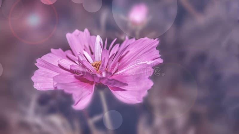 Чувствительный розовый цветок маргаритки cosme на красивой предпосылке r стоковое изображение