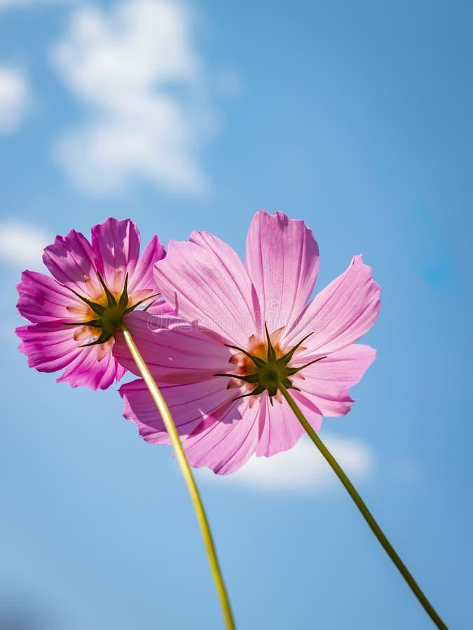 Cosme-Blume auf Hintergrund des blauen Himmels Blaues Meer, Himmel u Vertikale Ansicht lizenzfreie stockfotos