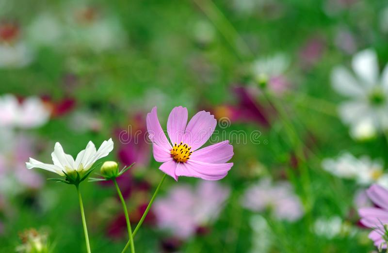 Cosme flowers in the garden. stock photo