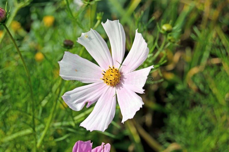Cosmea ogród Lato zielenie i kwiaty obraz stock