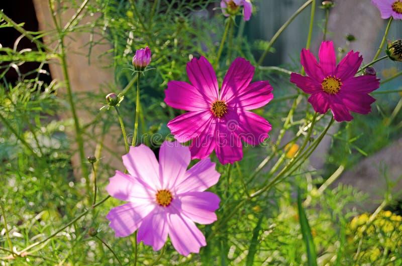 Cosmea ogród Lato zielenie i kwiaty fotografia stock