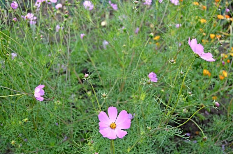 Cosmea ogród Lato zielenie i kwiaty zdjęcia stock