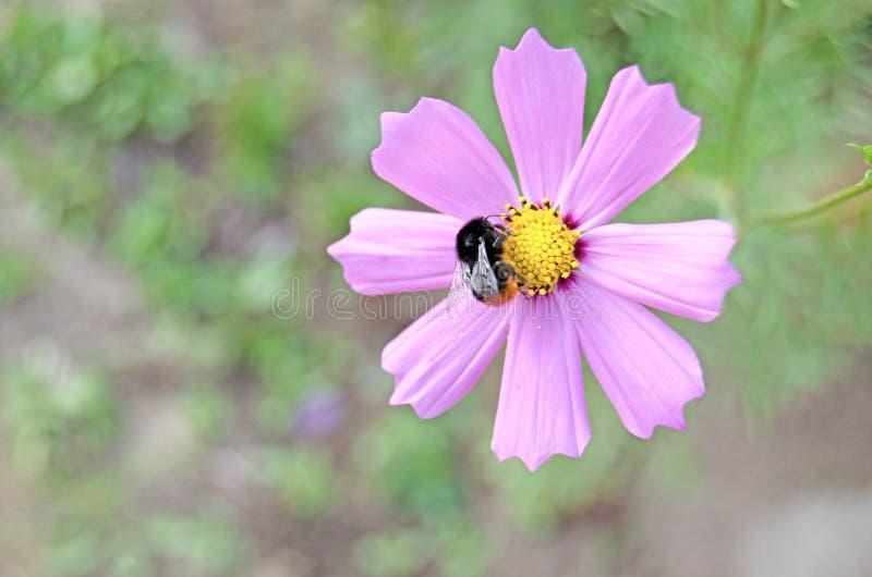 Cosmea ogród Lato zielenie i kwiaty zdjęcie stock