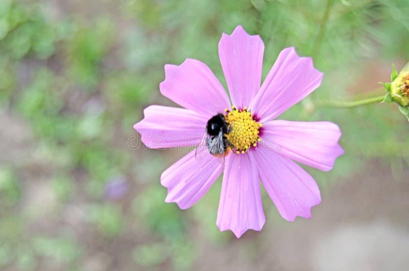 Cosmea ogród Lato zielenie i kwiaty obraz royalty free