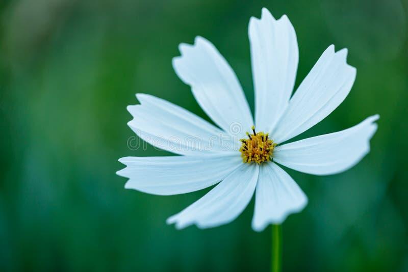Cosmea Pełen wdzięku biały kwiat na cienkim badylu w ogródzie Biały kwiat na zamazanym zielonym naturalnym tle zdjęcie stock