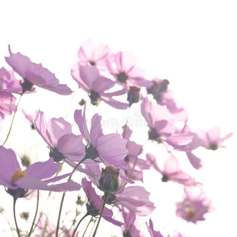 cosmea rosa Lilac cosmos fiori su un bianco fotografia stock