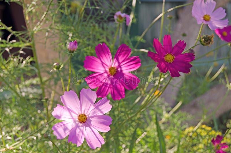 Cosmea trädgård Sommarblommor och gräsplaner royaltyfria foton
