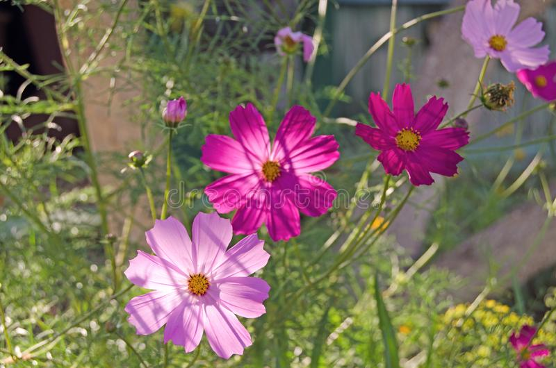 Cosmeatuin De zomerbloemen en greens royalty-vrije stock foto's
