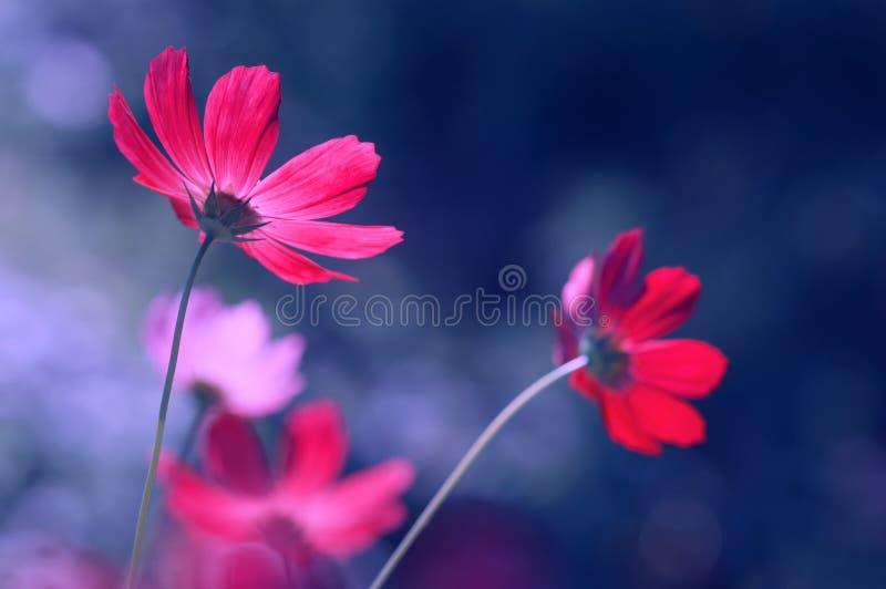 Cosmeces brilhantemente cor-de-rosa em um fundo azul Imagem artística bonita das flores no ar livre fotos de stock