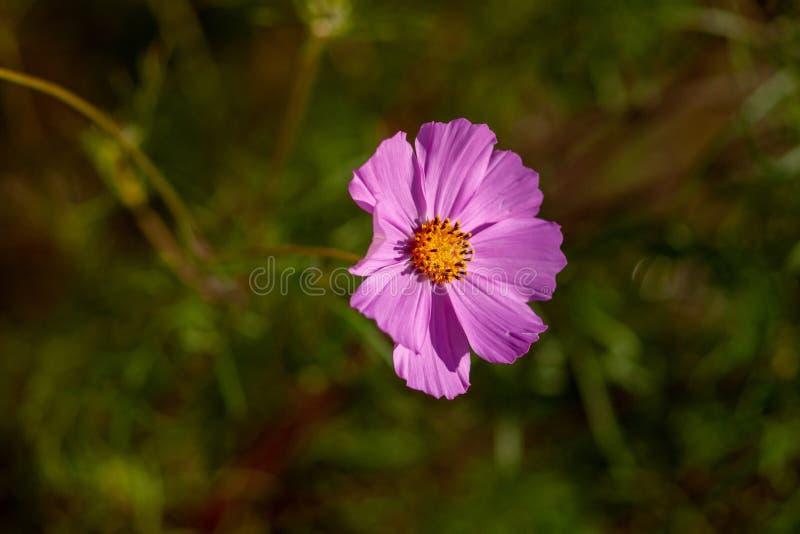 Cosmee kwiat z różowymi płatkami na zielonym tle przy zmierzchem, obrazy stock