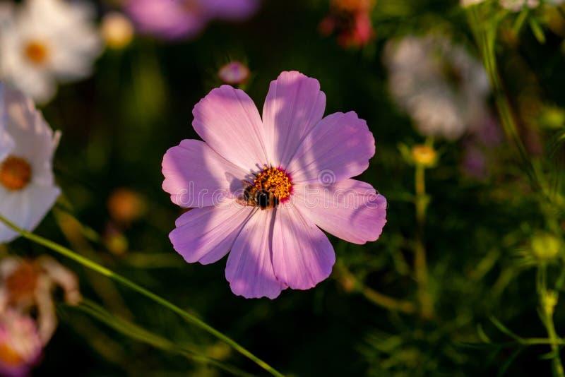 Cosmee kwiat z różowymi płatkami z pszczołą, zdjęcie stock
