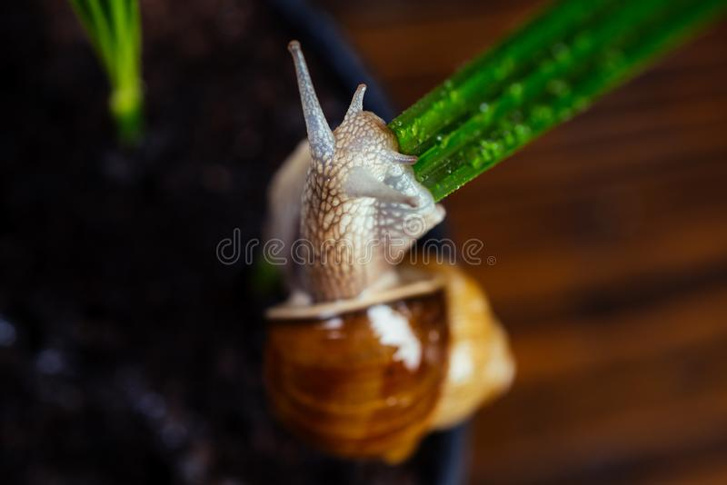 Cosmetology beauty procedure. Healing mucus. Cosmetics and snail mucus. Snail farm concept. Cute snail near green plant. Natural remedies. Adorable snail close royalty free stock images