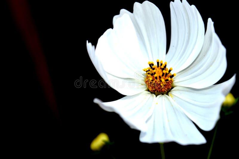Cosmo blanc image libre de droits