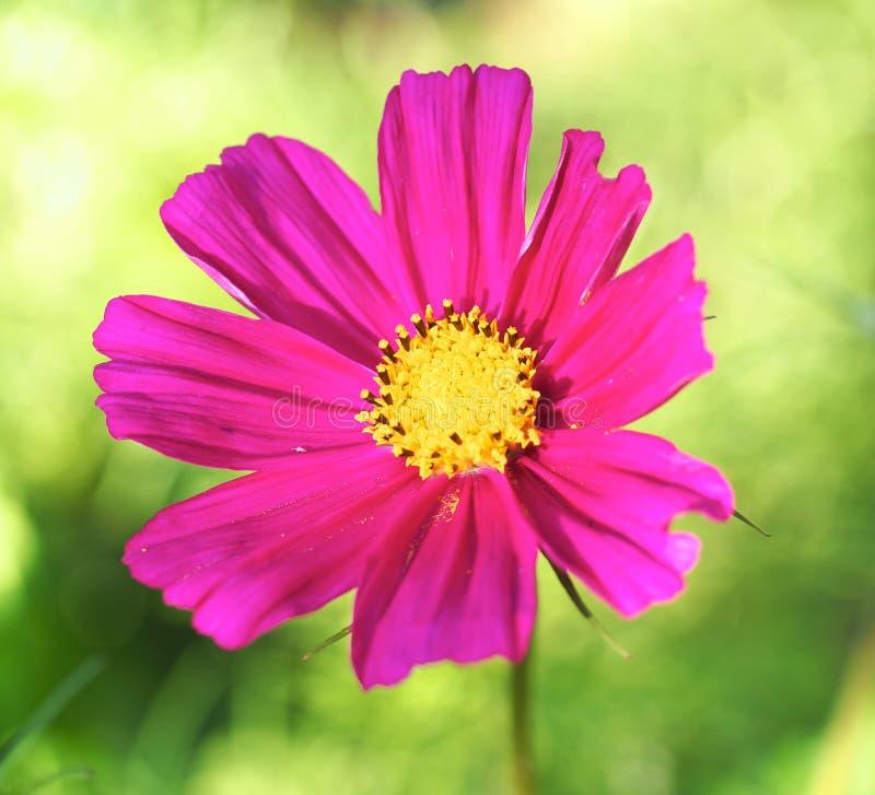 Cosmo en fleur image stock