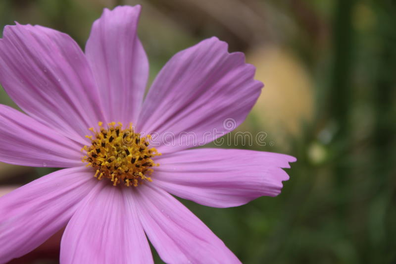 Cosmo púrpura imágenes de archivo libres de regalías