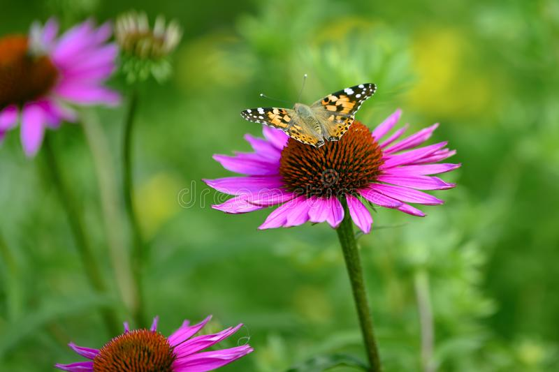 Cosmopolitan butterfly - Vanessa cardui, Syn.: Cynthia cardui - on flowering pink coneflower, sunhat royalty free stock images