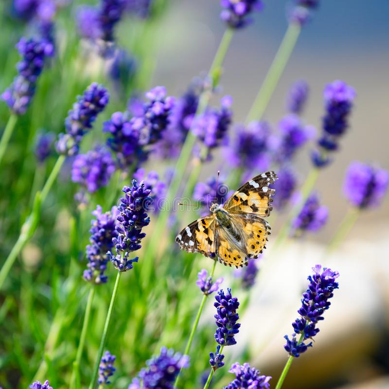 Cosmopolitan butterfly - Vanessa cardui, Syn.: Cynthia cardui - on flowering lavender stock image