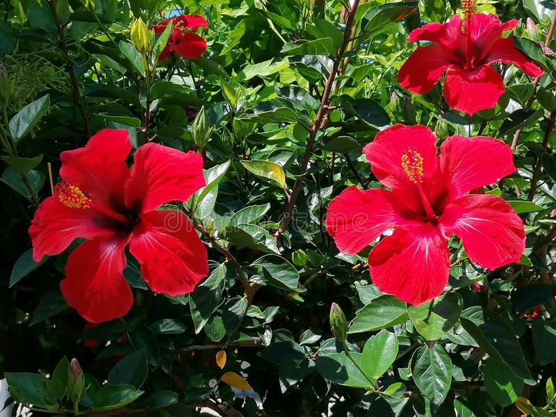 Red Hibiscus flower.It is a plant native to China and belongs to the Malvaceae family. It is a cosmopolitan plant that can be found in the gardens of virtually royalty free stock photography