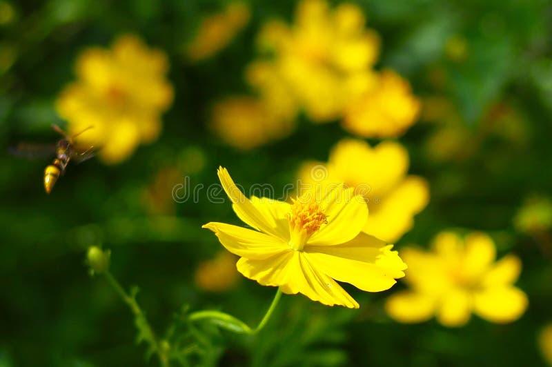 Download Cosmos imagen de archivo. Imagen de verano, cosmos, amarillo - 100530465