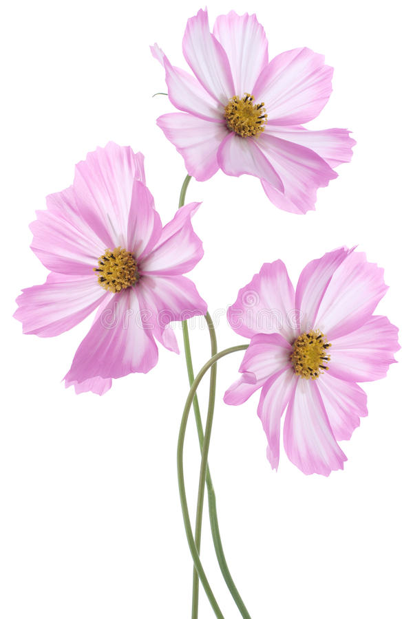Download Cosmos stock photo. Image of cutout, bouquet, closeup - 24452138