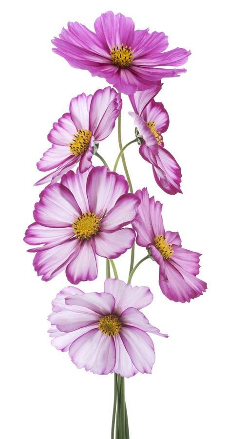 Download Cosmos imagem de stock. Imagem de planta, florescer, arranjo - 26519687