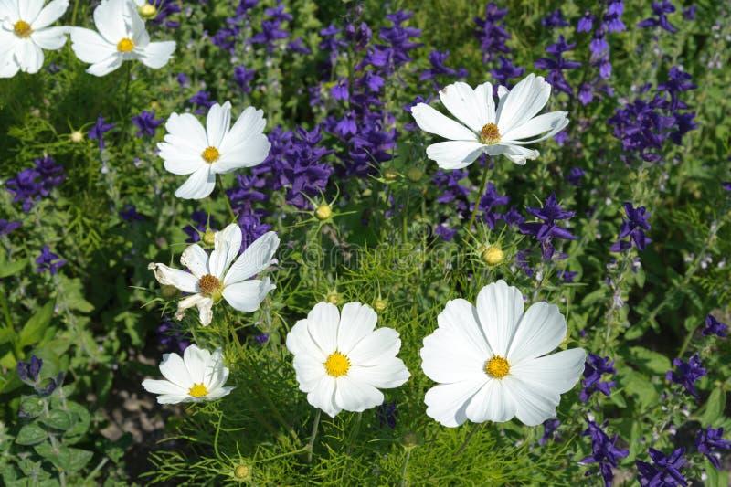 Cosmos. Closeup white cosmos flower in the garden royalty free stock photos
