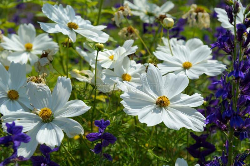 Cosmos. Closeup white cosmos flower in the garden stock image