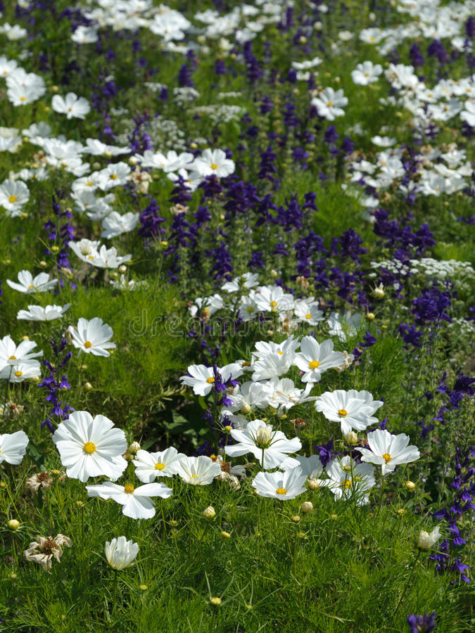 Cosmos. Closeup white cosmos flower in the garden royalty free stock photo