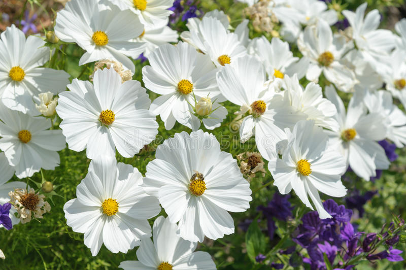 Cosmos. Closeup white cosmos flower in the garden stock images
