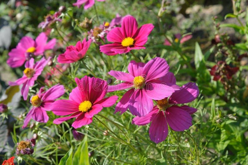 Cosmos. Closeup purple cosmos flower in the garden royalty free stock image