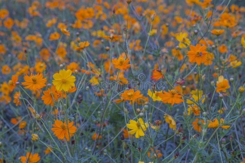 Cosmos amarelo fotografia de stock royalty free