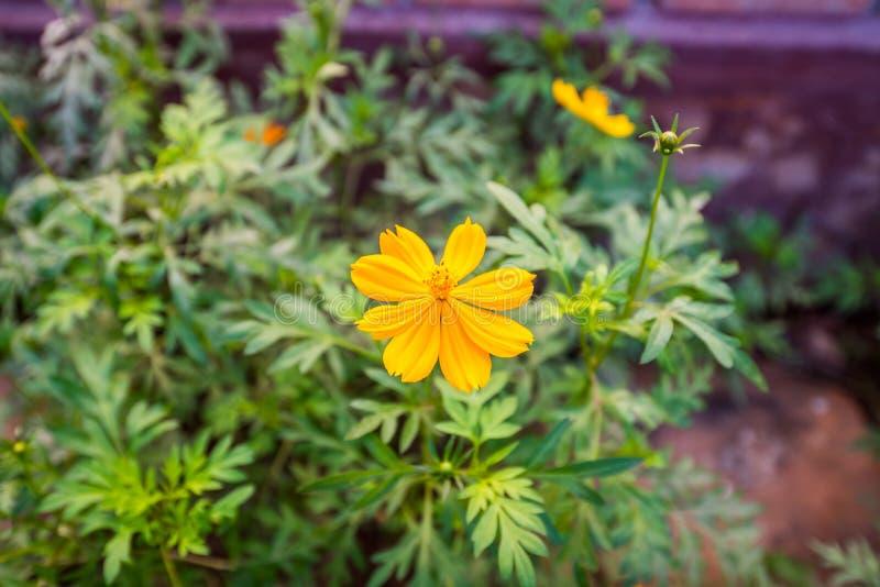 Cosmos amarelo, flor fresca de Sulphureus imagens de stock