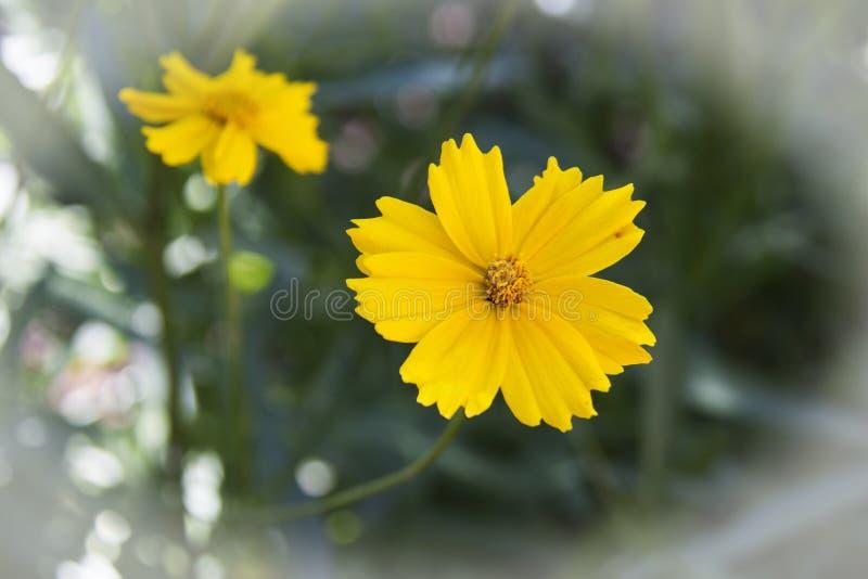 Cosmos amarillo del azufre de la flor en jardín imágenes de archivo libres de regalías